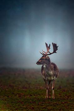 """"""" Fallow Deer by Nigel Pye """""""