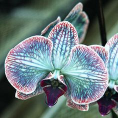 "Blue & Purple Orchid called ""Festive"" ♥"