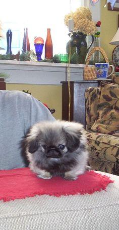 #Pekingese Puppy
