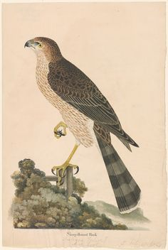 British School | 18th century | Sharp-shinned Hawk | The Morgan Library & Museum