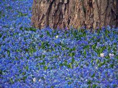 Frühling läßt sein blaues Band - Blausternchen (Scilla sibirica) im Botanischen Garten in Karlsruhe von ketchup61