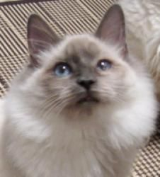 Tennyson is an adoptable Ragdoll Cat in San Antonio, TX. KITTEN POLICIES APPLY!! All kittens under 12 months will only be adopted into homes that either have at least one other kitten or young cat (1-...