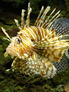 Lion fish -almost touched this in a pet store. The clerk saved me. They are poisonous! Oops!