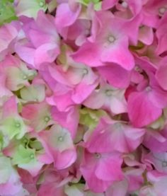 Erilaisia hortensioita Rose, Flowers, Plants, Pink, Plant, Roses, Royal Icing Flowers, Flower, Florals