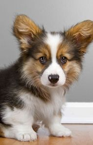 Pembroke Welsh Corgi Dog Breed Information, Pictures, Characteristics & Facts - Dogtime Corgi Dog Breed, Dog Breeds, Welsh Corgi Pembroke, Potty Training, New Puppy, Cute Animals, Puppies, Pets, Corgis