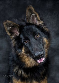 "German Shepherd ""puppy"" - This Bowie a German Shepherd puppy of  7 months old.  I just love the look on his ""face"" and colors."