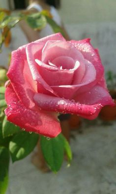 »✿❤️A Rose For You!❤✿«  ❥ℒℴvℯlyღღ❥