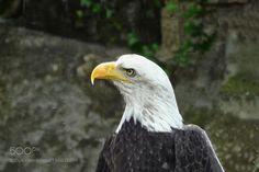 Sea-eagle by HermanHendriks #animals #animal #pet #pets #animales #animallovers #photooftheday #amazing #picoftheday