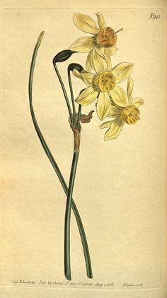 Curtis Botanical No. 945:  Syd. Edwards del.  Pub. by Curtis, St. Geo. Crescent  Aug 1, 1806.