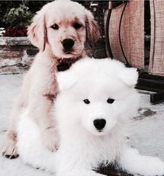 Samoyed & Golden Retriever pups sharing some love Cute Puppies, Cute Dogs, Dogs And Puppies, Doggies, Animals And Pets, Baby Animals, Cute Animals, Dog Carrier, Golden Retrievers