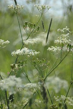 Caraway - hardy biennial plant. Edible leaves, roots, seeds. Insect attracting flowers. Dynamic nutrient accumulator (phosphorous)