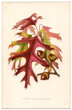 vintage printable: gorgeous autumn leaves – Scarlet Oak | via The Graphics Fairy