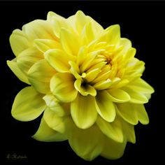 Yellow Dahlia Flower - Laureenr Dahlia Flower, Flowers, Rose Gift, Orchids, Yellow, Plants, Gifts, Photography, Presents
