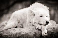 Female White Wolf Related Keywords & Suggestions - Female White ...