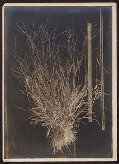Unidentified grass specimen from the field notes of André Goeldi