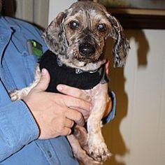 Munster, Indiana - Dachshund. Meet Monty, a for adoption. https://www.adoptapet.com/pet/20937432-munster-indiana-dachshund-mix