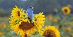 Bluebird and Sunflowers.....what ...