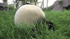 Panda roll! They see me rollin' #Panda #Dawww #FunnyStatus