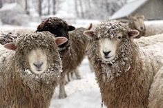 just because I love sheep... and who can resist them covered in a bit of snow?