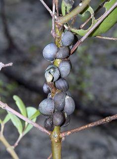 Lined nerites (Nerita articulata)