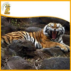 You know why a tiger roars? Well, for two reasons; he is either defending his own territory or inviting his counterparts to mate. Tiger Roaring, Bengal Tiger, Peacocks, Tigers, Google Search, Peacock, Big Cats