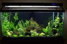Planted Tank and Aquarium discussion forum. Aquarium Aquascape, Betta Aquarium, Planted Aquarium, Aquarium Garden, Tropical Fish Aquarium, Tropical Fish Tanks, Saltwater Aquarium, Freshwater Aquarium, Aquascaping