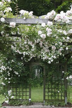 rose Venusta Pendula