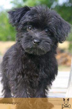 Hybrid cars are neat, but hybrid dogs are AMAZING! & Yorkie Poo Source by The post These Dog Breed Mixes Are So Awkwardly Cute appeared first on Daisy Dogs. Yorkie Poo Puppies, Havanese Dogs, Cute Puppies, Cute Dogs, Dogs And Puppies, Yorkie Poodle, Schnoodle Puppy, Yorkies, Poodle Mix