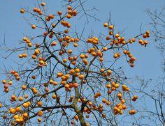 Le plaqueminier : Ce ne sont pas des ballons ni des oranges - le blog docroger