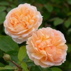 6228 David Austin new rose The Lady Gardener