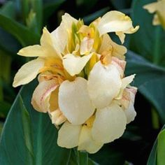 Canna 'Cannova Lemon' Growing Conditions: full sun Size: 4 feet tall and 2 feet wide Grow it with: sweet potato vine Different Plants, Flowers, Large Flower Pots, Gardening Trends, Showy Flowers, Unusual Plants, Plants, Annual Flowers, Landscaping Plants