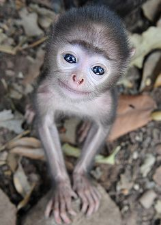 Ready for my close-up: The adorable baby grey langur monkey showed he was not camera shy when pictured near his Indian home. HES SMILING !