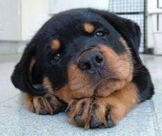Sweet Rottie....