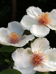 Mountain Camellia (Stewartia ovata var grandiflora)