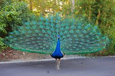 Peacock | National Bird Basic Facts & Information | Beauty Of Bird