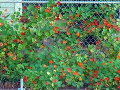 nasturtiums such awesome little plants Chain Link Fence Cover, Chain Fence, Backyard Garden Landscape, Garden Fencing, Garden Landscaping, Little Plants, Farm Yard, Urban Farming, Permaculture
