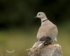 Eurasian Collared Dove by Ragoo Rao http://focusingonwildlife.com/news/wildfocus/featured/img_5413-copy/