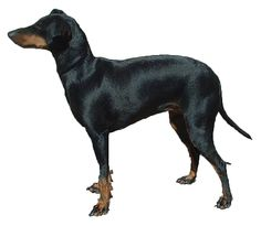 Standard Manchester Terrier:   The Manchester Terrier is alert, energetic, brave, feisty, and extraordinarily loyal. They quickly form strong bonds with their owners.