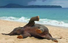 I've probably pinned this before but I don't care. Baby elephant's first time at the beach!