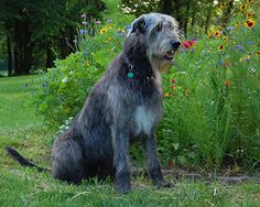 Bainbridge Irish Wolfhounds - Mason, Ohio