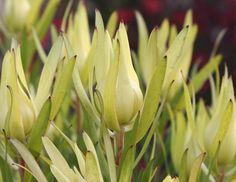 Inca Gold Flower Company, Image Types, Garden Plants, Nativity, Wedding Flowers, Oriental, Gold, Gardening, House
