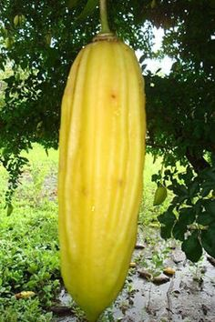PARMENTIERA aculeata, rare tropical plant with sweet edible fruits, 5 seeds Green Fruit, Fruit And Veg, Fruits And Vegetables, Fruit Fruit, Tropical Fruits, Tropical Plants, Fruit World, Beautiful Fruits, Rare Plants