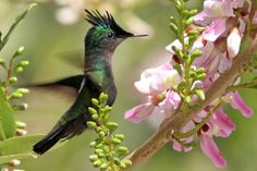 Antillean Crested Hummingbird. Orthorhyncus cristatus: widely distributed in the Lesser Antilles