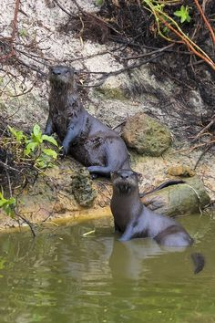 Florida River Otters, one of my fav animals to see at the zoo!!