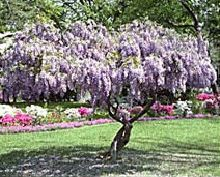 Purple Wisteria Tree Drought tolerant Pest & disease resistant, that means no spraying! Very fragrant. adapts to many soils & conditions, Zone 5 needs at least 6 hrs sun