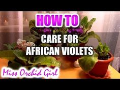 WATERING AFRICAN VIOLETS: common mistakes and , HOW TO GET A SHOWY DISPLAY OF FLOWERS. - YouTube