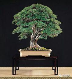 Prunus Mume, Bonsai Styles, Bonsai Art, Terrarium, Around The Worlds, Herbs, Garden, Beautiful, Pots