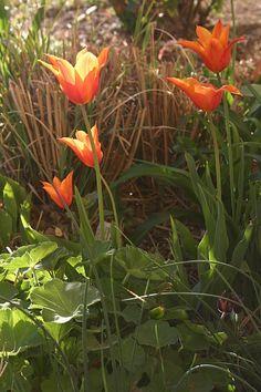 Mein Frühlingsgartenglück auf kleinem Raum - http://gartensaison-gartentipps.blogspot.de/2015/04/fruhlingsgartengluck.html