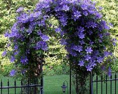 #clematis #flowers #purple #garden #arbor #pretty