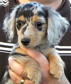 Beautiful long haired female dapple dauschund #food